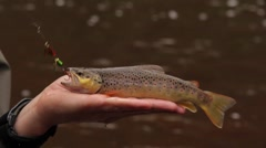 brown trout - stock footage