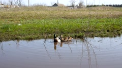 Ducks in water in village Stock Footage
