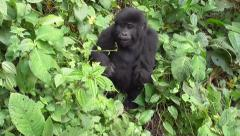 Baby Gorilla - Bwindi Impenetrable National Park - Uganda, East Africa - stock footage