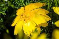 Beautiful spring yellow flowers  Pheasant's eye - stock photo