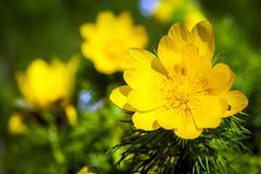 Beautiful spring yellow flowers  Pheasant's eye Stock Photos