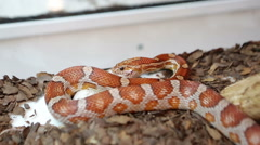 Snake Feeding Stock Footage