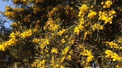 Yellow Mimosa close up in sunlight, symbol of the early springtime Stock Footage