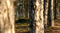 Magic coniferous pine forest - tree trunks and bark Stock Footage