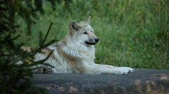 OR-7 gray wolf resting on rock in forest Stock Footage