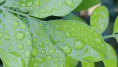Water droplets on leaf Stock Footage
