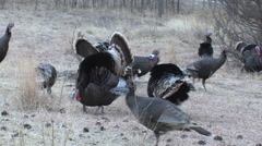 Wild Turkey Flock Gobblers Display for hens - Good Calling Stock Footage