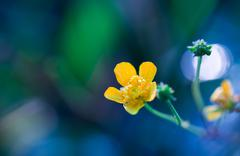 Beautiful yellow buttercup flower macro Stock Photos