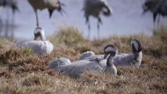 Cranes laying on ground relaxed plumage feather Stock Footage