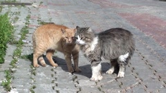 Two rutting cats on the street Stock Footage