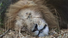 The head of a sleeping lion Stock Footage