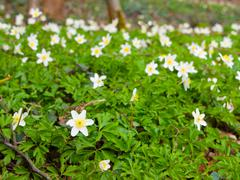 White wood anemones - stock photo