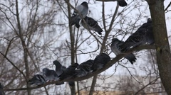 The flock of pigeons sitting on a branch. Winter Stock Footage