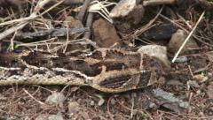 The head of a puff adder snake gliding along the ground Stock Footage