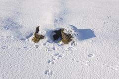 Rabbits run for cover but tracks lead to their warren Stock Photos