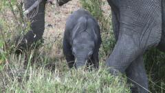 Mother elephant with her baby grazing peacefully Stock Footage