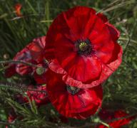 Colour-popped Red Poppies - stock photo