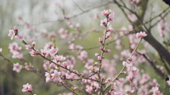 Peach Blossom in the Spring Stock Footage