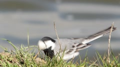 White Wagtail (Motacilla alba) in natural habitat Stock Footage