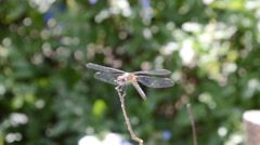 Dragonfly on a branch Stock Footage