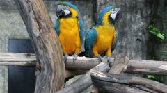 Blue-and-Yellow Macaw, Ara ararauna, also known as the Blue-and-Gold Macaw Stock Footage