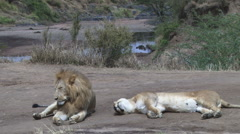 lion couple tired and worn out sitting by the river - stock footage