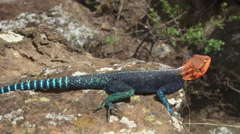 Full breeding colours of a male agama lizard Stock Footage