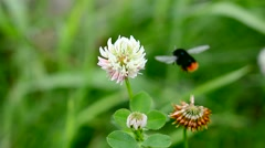 Bumblebee collects honey in the meadow, green grass and white clover flower Stock Footage
