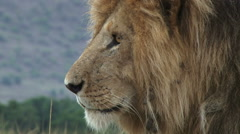 Extreme close up of a lion head Stock Footage
