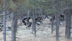 Moving Flock of Turkeys During the Spring Mating Season w Audio Stock Footage