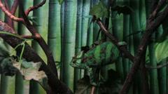 Chameleon climbing on the tree Stock Footage