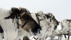 Reindeers on the national holiday on Yamal - stock footage