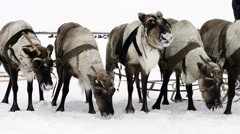 Reindeers on the national holiday on Yamal Stock Footage