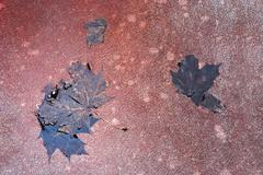Maple leaves in the puddle - stock photo