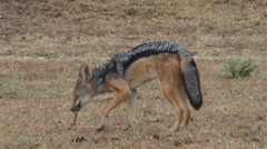 Black backed jackal eating carrion Stock Footage