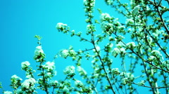Cherry Blossom in April Stock Footage