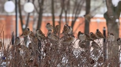 A flock of sparrows sitting on a bush. Winter Stock Footage
