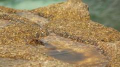 Stone crab on the coastal rocks Stock Footage