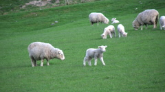 New Zealand lamb looks for a spot to lie down Stock Footage