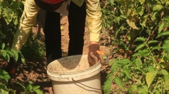 Farmer picking ripe tomato in vegetable garden Stock Footage