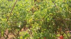 Red ripe tomato garden Arkistovideo