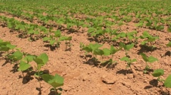 Peanut field in the wind Stock Footage