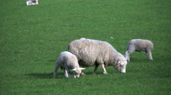 New Zealand grazing sheep grazes among three lambs Stock Footage