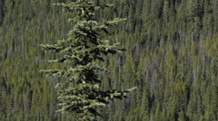 Spruce tree with mountain side forest of conifers in the background. - stock footage