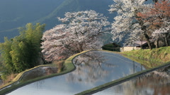 Cherry blossoms and rice paddy, Mie Prefecture, Japan Stock Footage