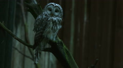 Two owls looking around Stock Footage