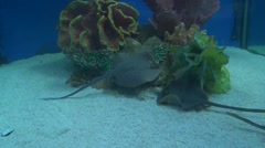 Two Stingray (Dasyatis pastinaca) feeding at bottom of tank Stock Footage