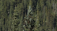 Two spruce trees with mountain side of conifers in the background. Stock Footage