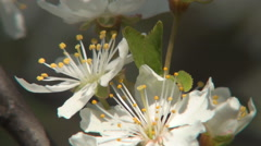 Close up Cherry flowers, morning spring day. Tree branch in wind blow. Blossom. - stock footage