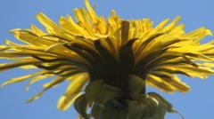 Close up Taraxacum officinalis. Beautiful yellow flower, blue sky, spring day. Stock Footage